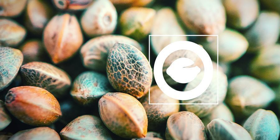 What Are Regular Cannabis Seeds?
