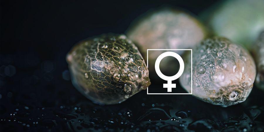 Kann man Cannabissamen zuhause selbst feminisieren?