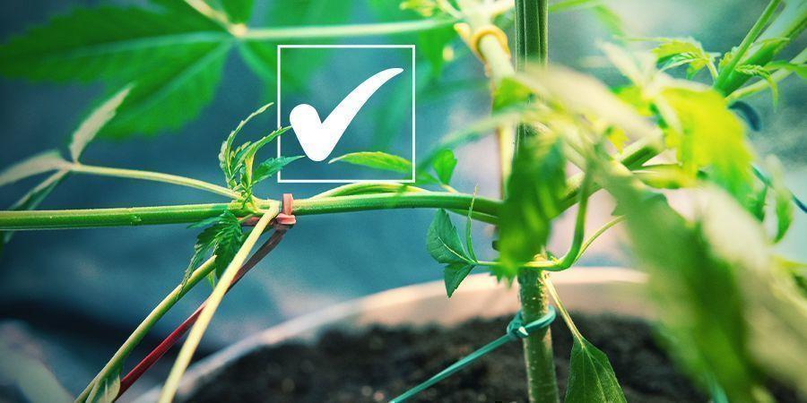 Feminisierte Cannabissamen: Die Vorteile