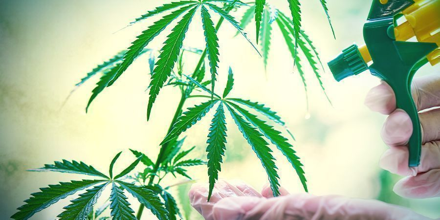 How Do Cannabis Seeds Become Feminized?