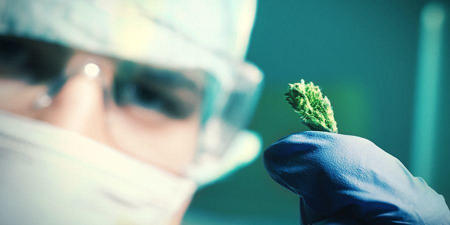 Wie werden autoflowering Cannabissamen kreiert?