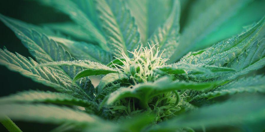 Was ist autoflowering Cannabis?