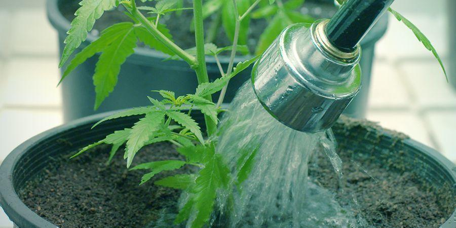 Wie Du Deine Cannabispflanzen Spülen Solltest