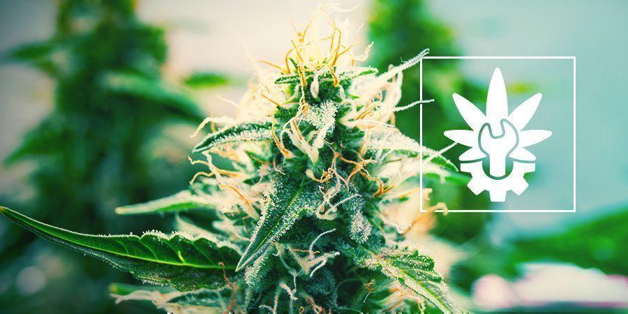 Cannabis Autoflowering Techniques