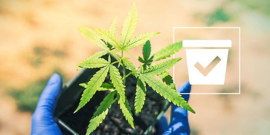 Richtigen Behälter Cannabispflanzen