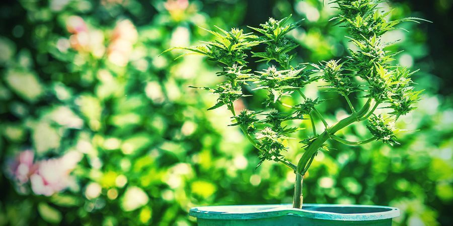 Tips For Growing Cannabis In Pots