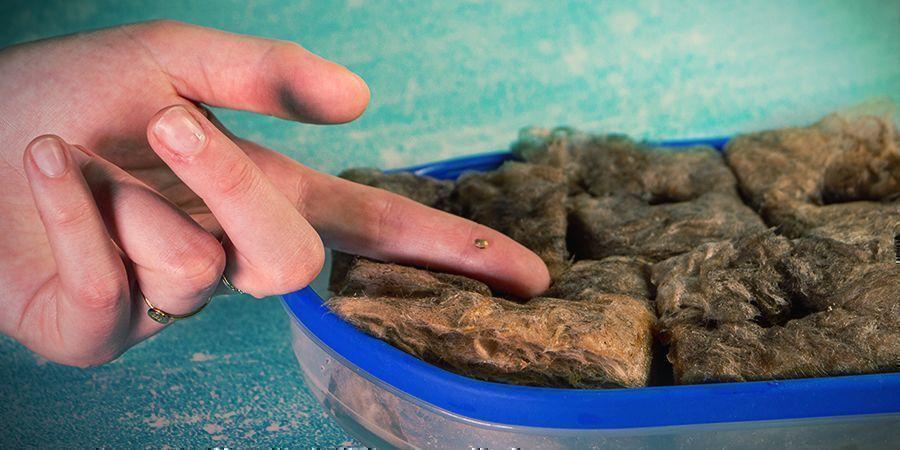 Growing Cannabis In Rockwool: GERMINATION