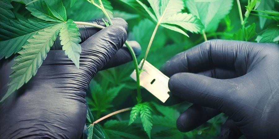 Cannabisanbau In Steinwolle: Stecklinge Klonen Und Verwurzeln
