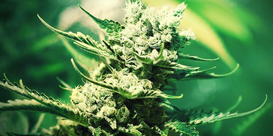Growing Cannabis In Rockwool: FLOWERING