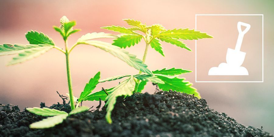 Growing Cannabis In Soil