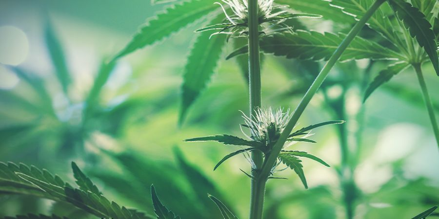 Early Flowering Cannabis