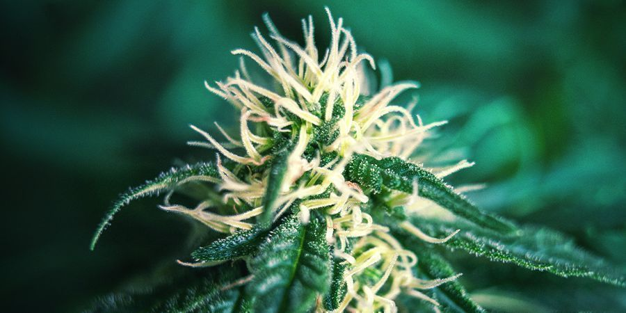 Late Flowering Cannabis - Maturation Stage