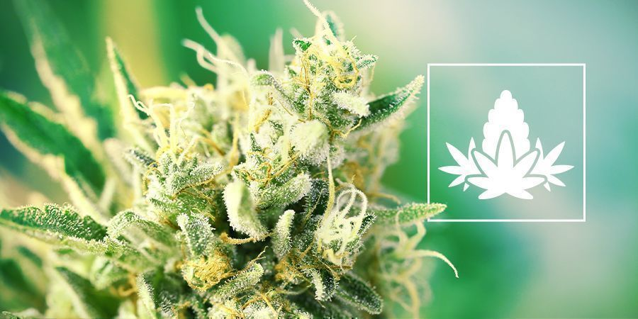 The Cannabis Flowering Phase