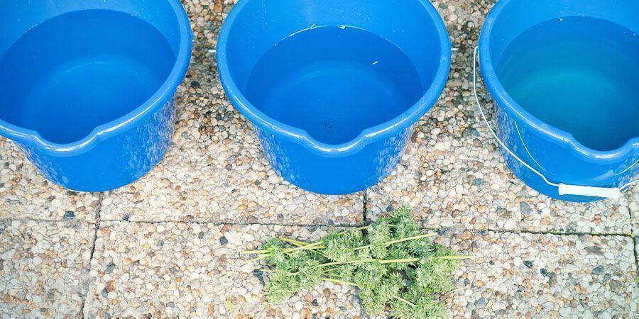So Wäschst Du Cannabisblüten