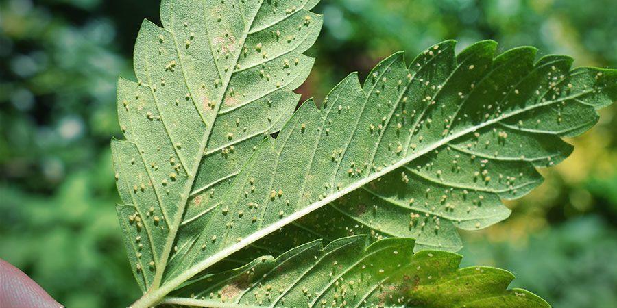 Warum Solltest Du Deine Cannabis Blüten Waschen