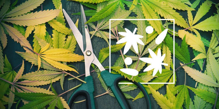 What To Do With Leftover Fan Leaves And Trim