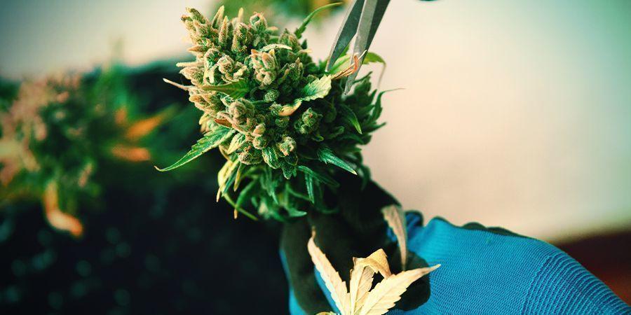 Manicuring Cannabis