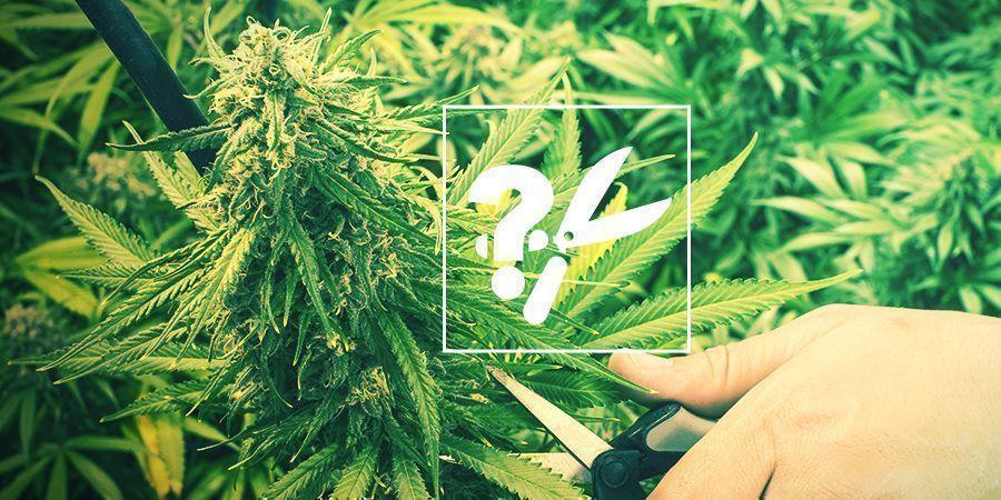 Wann Und Wie Man Cannabis Ernten Sollte