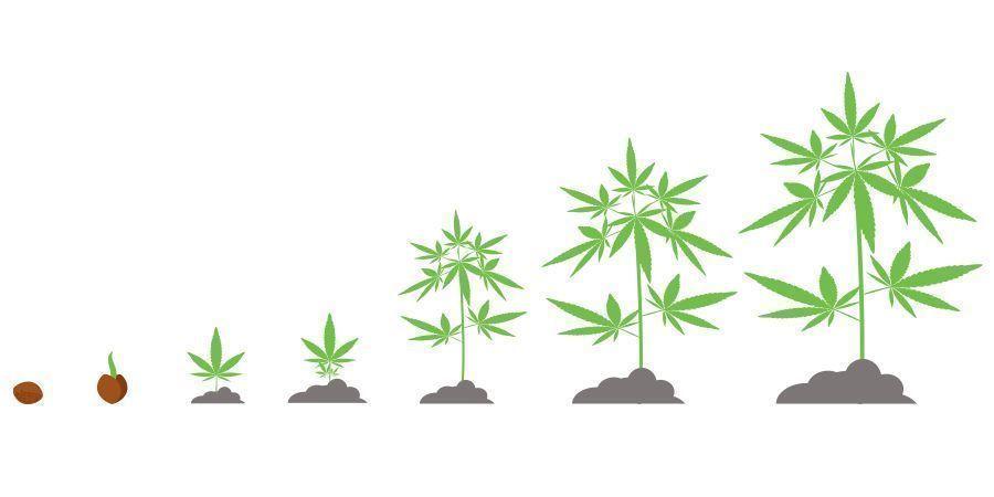 Cannabis Timeline
