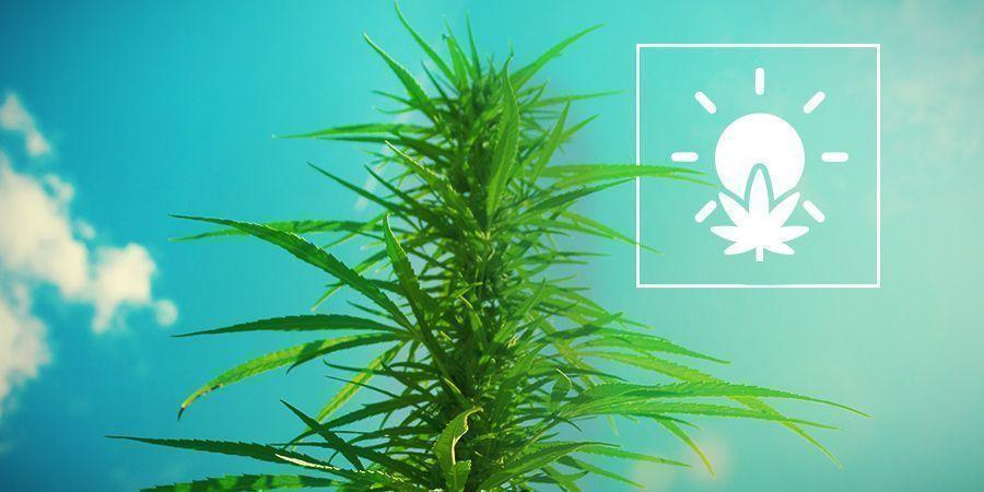 Cannabisanbau im Freien
