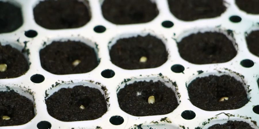 STEP 2: GERMINATE YOUR CANNABIS SEEDS