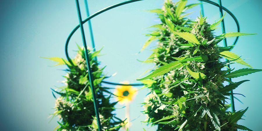 Wie Sieht Es Mit Autoflowering Pflanzen Aus