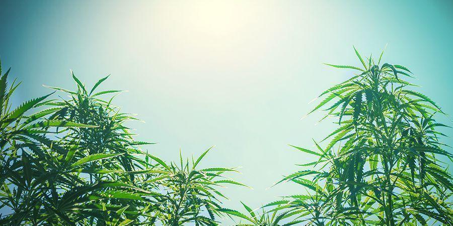 Cannabis Plant Size