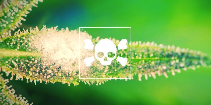 Wie Man Kranke Cannabispflanzen Erkennt