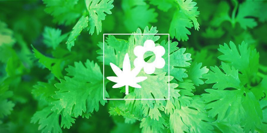 Cannabis Companion Planting: Coriander