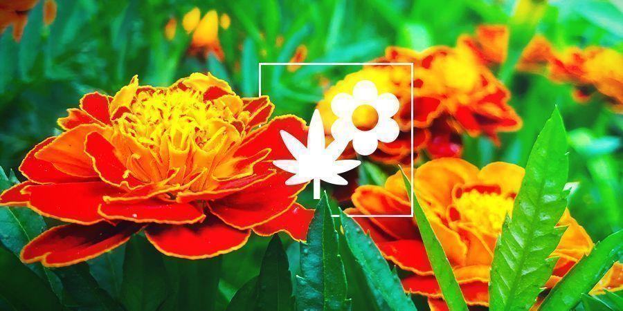 Cannabis Beipflanzung: Ringelblume