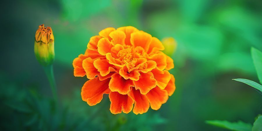 MARIGOLD: GREAT FOR CANNABIS COMPANION PLANTING