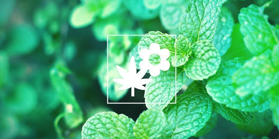 Mint and cannabis