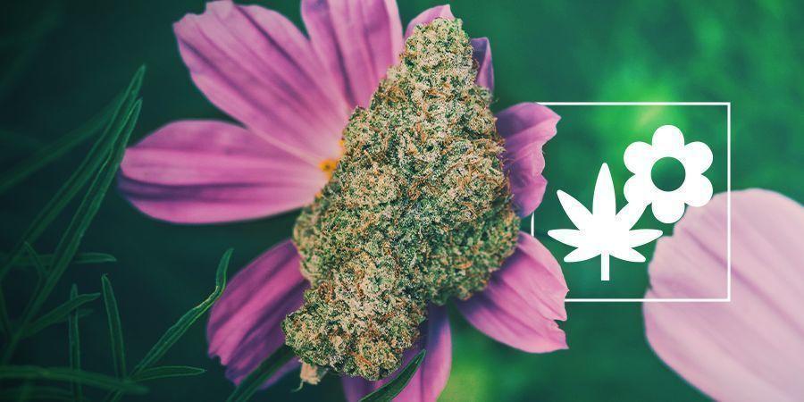 Wie Man Mit Begleitpflanzen Besseres Cannabis Anbaut