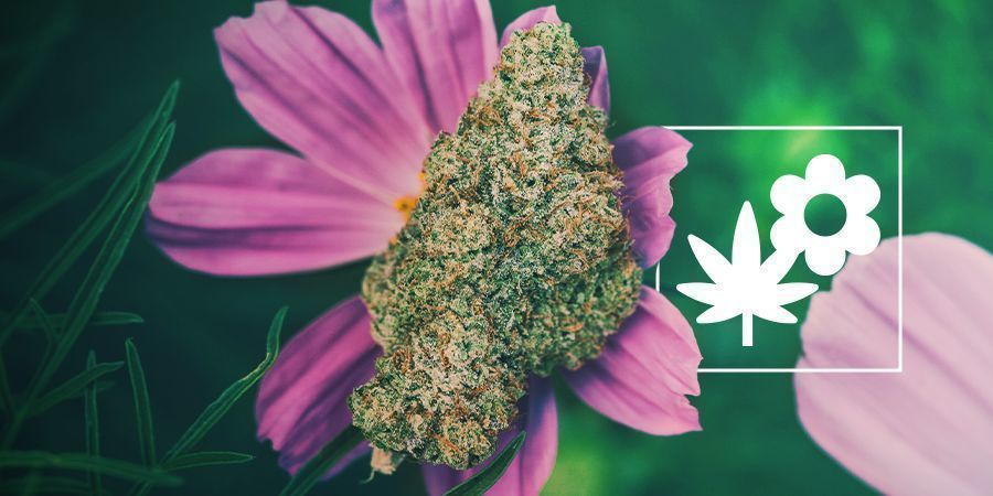 How To Grow Better Cannabis With Companion Plants