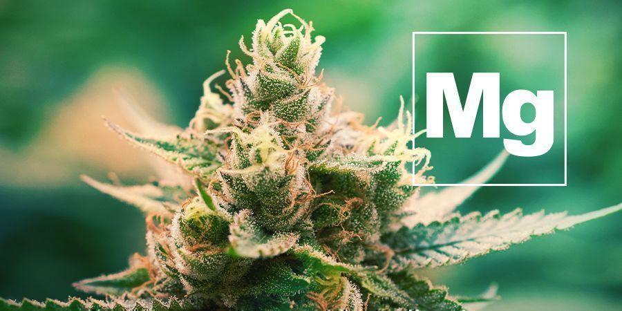 Magnesium Und Cannabis Pflanzen