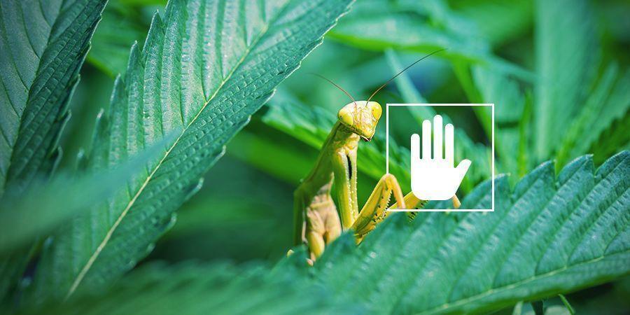 Warum brauchen Cannabispflanzen Stickstoff?