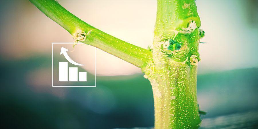 Warum brauchen Cannabispflanzen Phosphor?