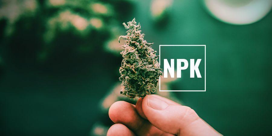 Warum brauchen Cannabispflanzen Kalium?