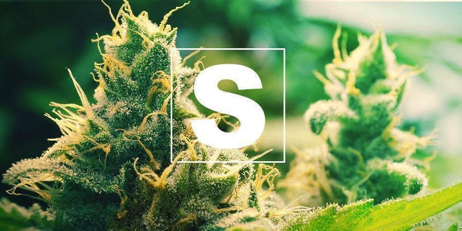 Sulphur And Cannabis Plants