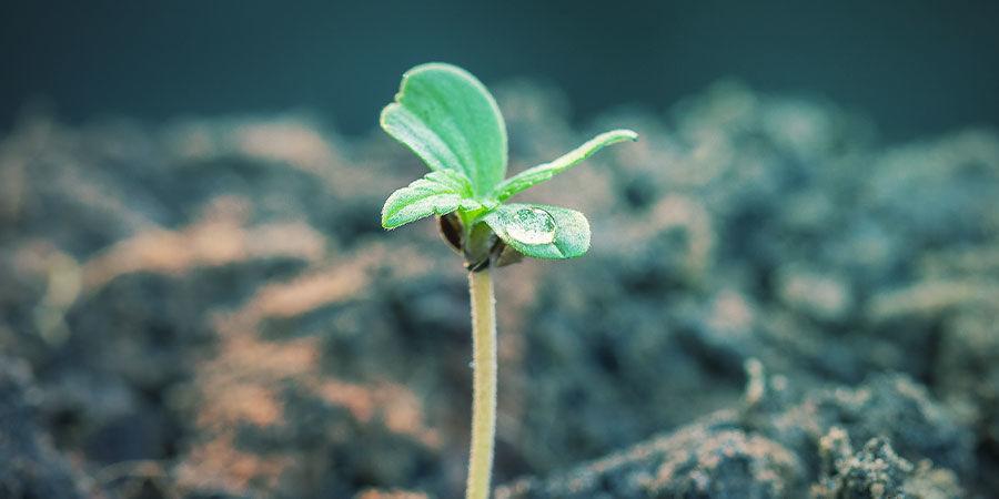 Cannabis NPK Fertiliser Ratios According to Stage of Growth