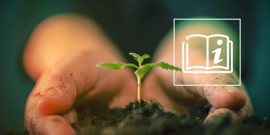 Wie Man Cannabis Anbaut