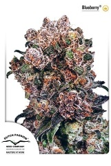 Blueberry feminized