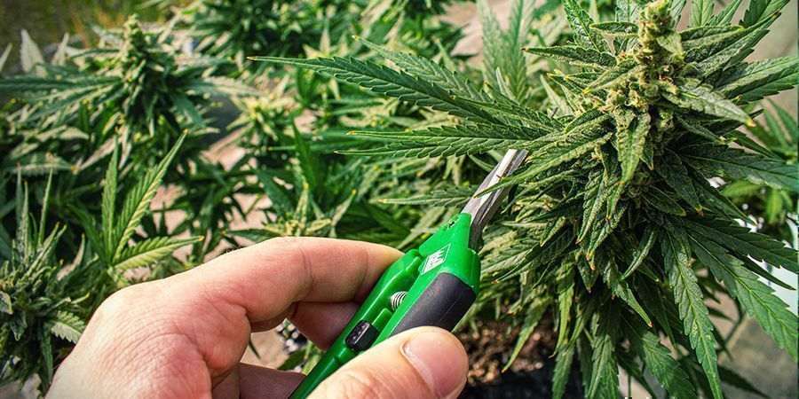 Der Zeitpunkt, Cannabis Zu Ernten