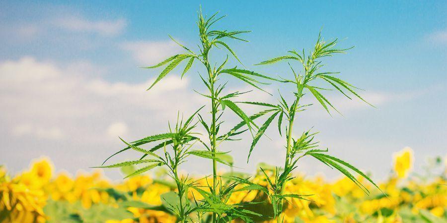 Was Sind Begleitpflanzen Für Cannabis?