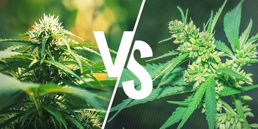 Reguläre Cannabissamen