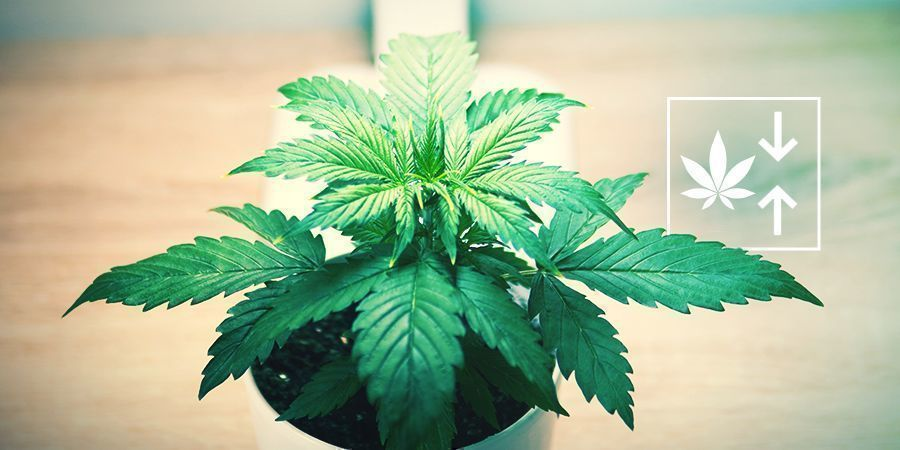 Why Grow Feminized Autoflowering Plants?