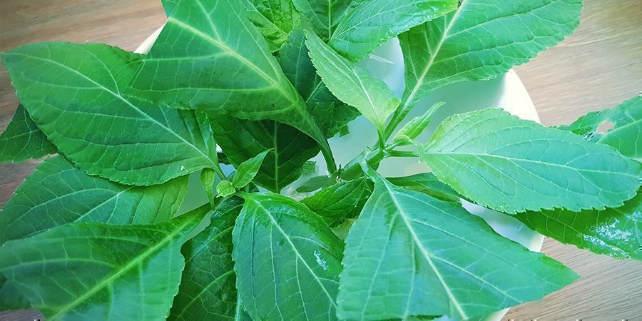 Can You Grow Salvia Divinorum?