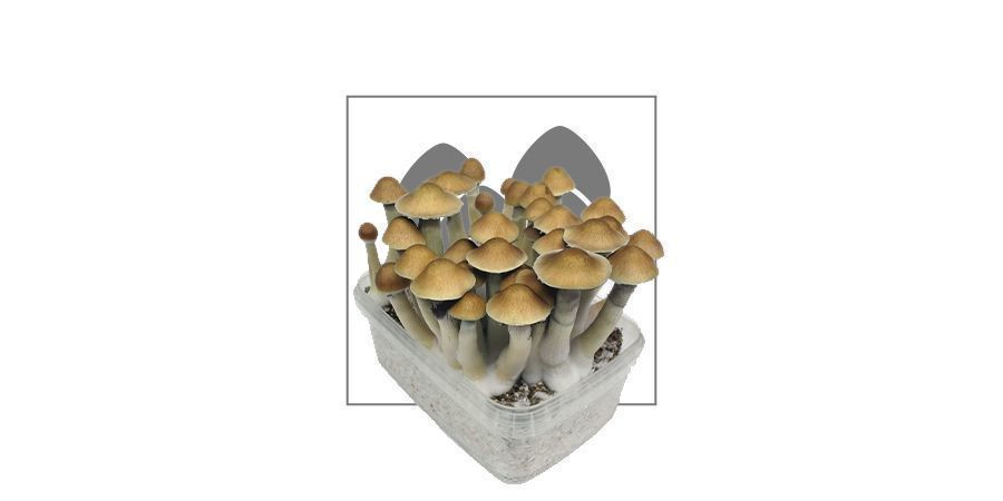 Magic Mushroom Grow Kits by Zamnesia | Fast Delivery - Zamnesia