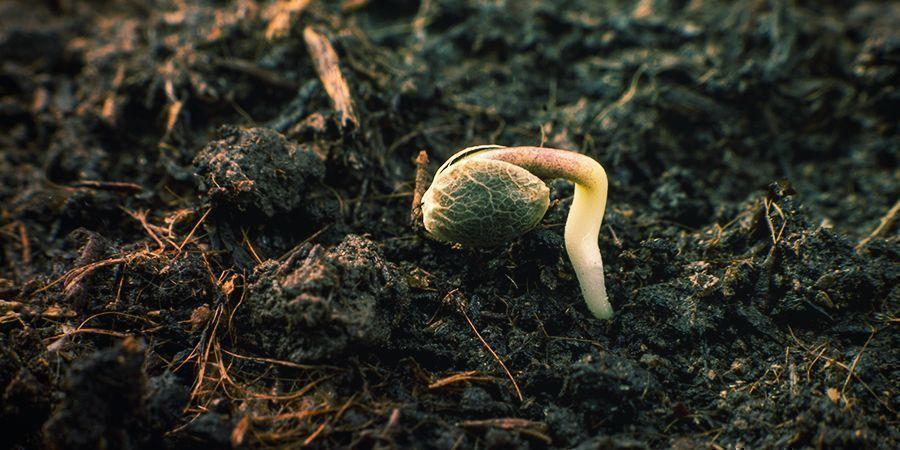 Wie keimt man Samen von Sensi Seeds?