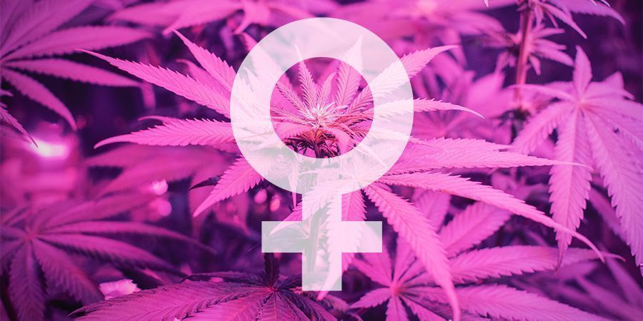 What Are the Best Feminized Cannabis Seeds by Sensi Seeds?